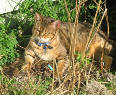 bengal cat laying in grass
