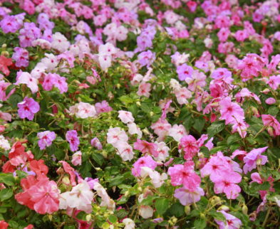Shades of pink flowers in a garden