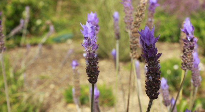 Lavender flower heads in sun