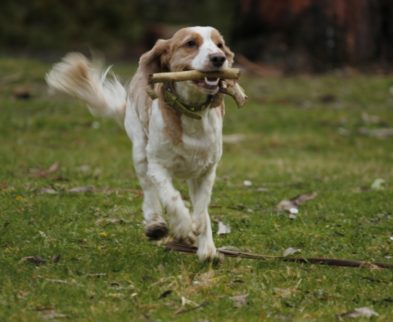 Cocker spaniel running with stick in his mouth