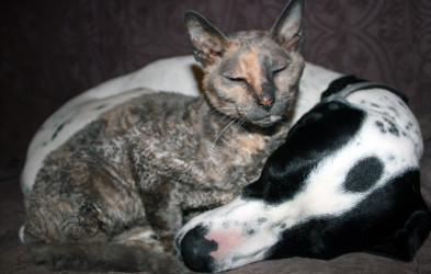 Cornish rex and english pointer sleeping together