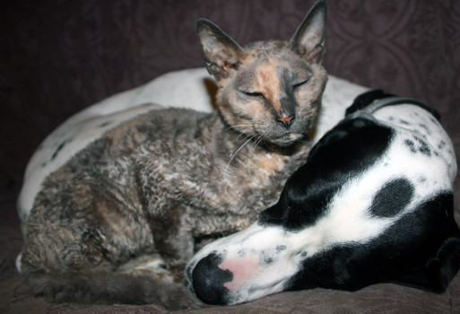 Cornish rex sleeping on a black and white english pointer